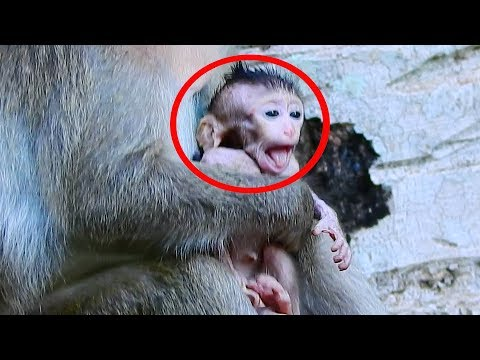 Ah! Why She Steal Newborn Baby Monkey Brutus JR, Just Born Baby Monkey Cry Loudly