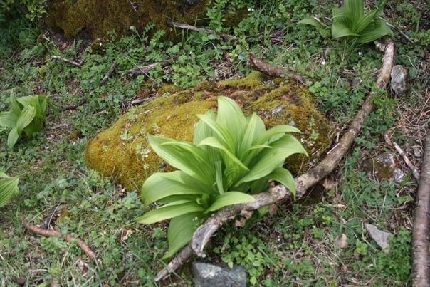 Даже вот у камня растёт, и там и тут лезет в кадр.