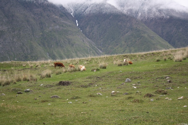 Коровки, опять же, пасутся — идиллия.