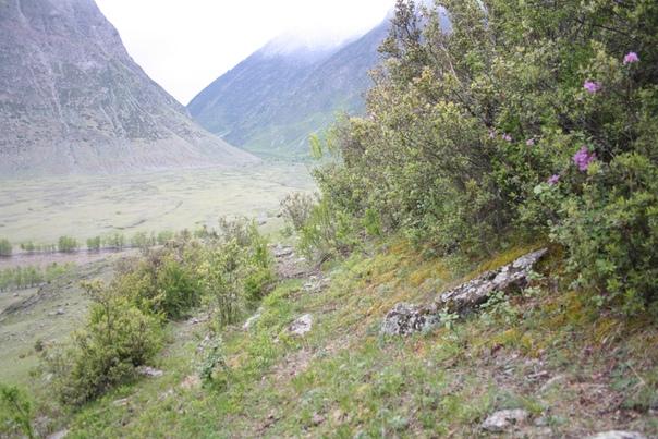 Лажу по склону, чтобы сфоткать поближе цветущий куст маральника.