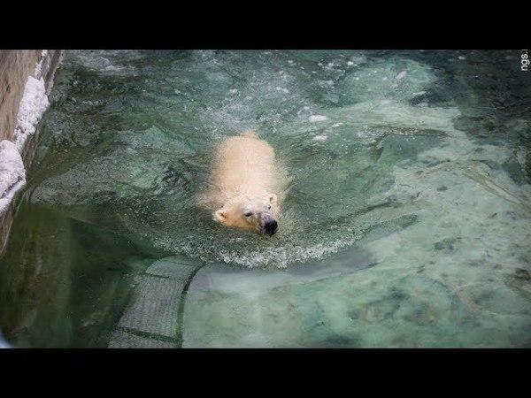 Медвежонок в Санкт-Петербурге открыл купальный сезон