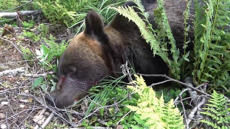 Охота на медведя Как Финны охотятся на медведя