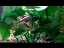 Пельвикохромиксы попугайчики вывели потомство