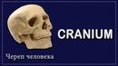 СТРОЕНИЕ ЧЕРЕПА | CRANIUM | АНАТОМИЯ ДЛЯ СТУДЕНТОВ - МЕДИКОВ | ПЕРВОКУРСНИКОВ