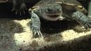 My Turtles and shrimps emydura subglobosa chelodina oblonga pelomedusa subrufa and filtershrimp
