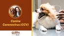 Коронавирус у собак / Canine Coronavirus (CCV)