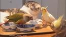 Cockatiel singing to his friends