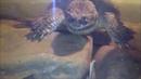 Каймановая Черепаха ест Дракона! snapping turtle vs lizard