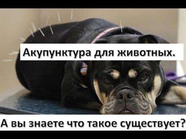 🐩 👩⚕ Акупунктура в ветеринарии Ветврач Ольга Куксина дает интервью для WAVM