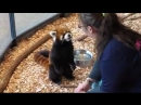 エイタの屋内お食事模様 red panda EITA 240 X 426 mp4