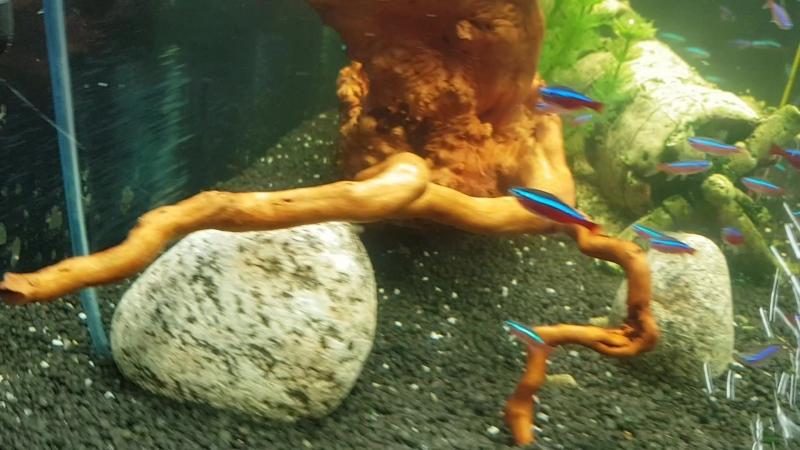Мой аквариум Тетра - 100 л. с красными неонами.