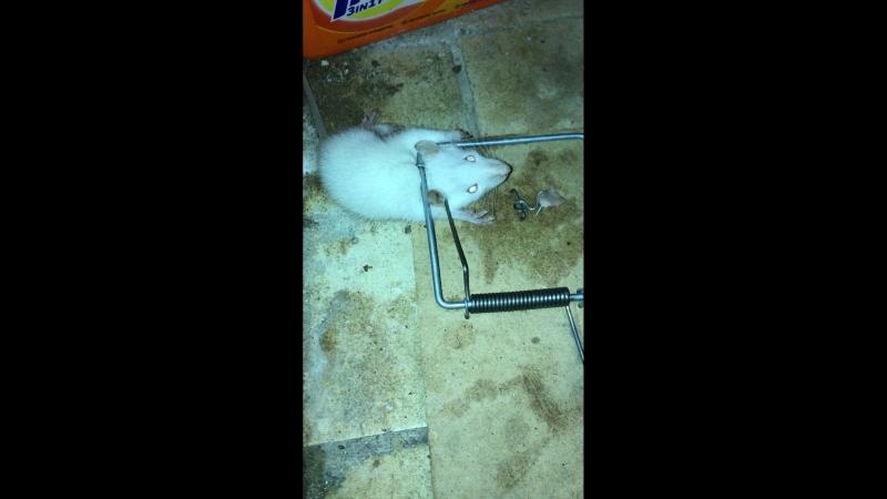 Крыса белая маленькая