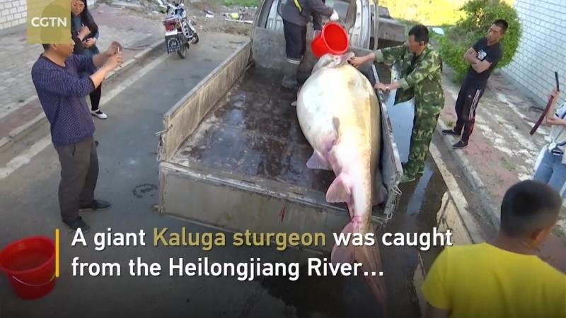 Огромную столетнюю рыбу поймали в Амуре (май 2018)