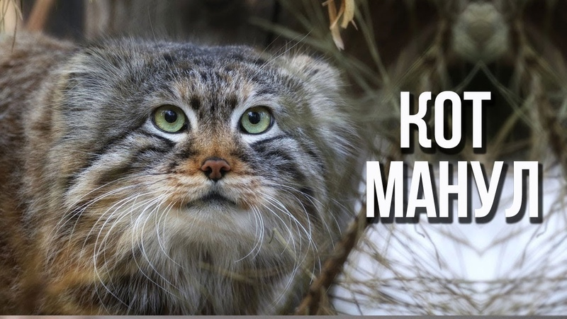 Манул степной дикий кот / Интересные факты о кошках