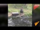 Черный лебедь кормит рыбок