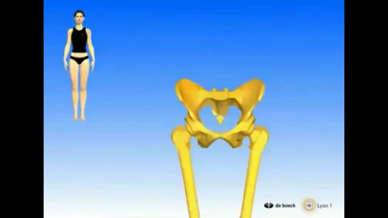 Подвздошно-поясничная мышца, строение, функции