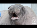 Уроки экстремального вокала от моржа