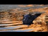 карликовый бегемот плавает