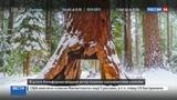 Новости на Россия 24 В Калифорнии рухнула известная на весь мир секвойя с тоннелем в стволе