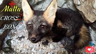 Malta Cross Fox #4 🦊Лиса кушает, копает, прячется, играет 😻4К