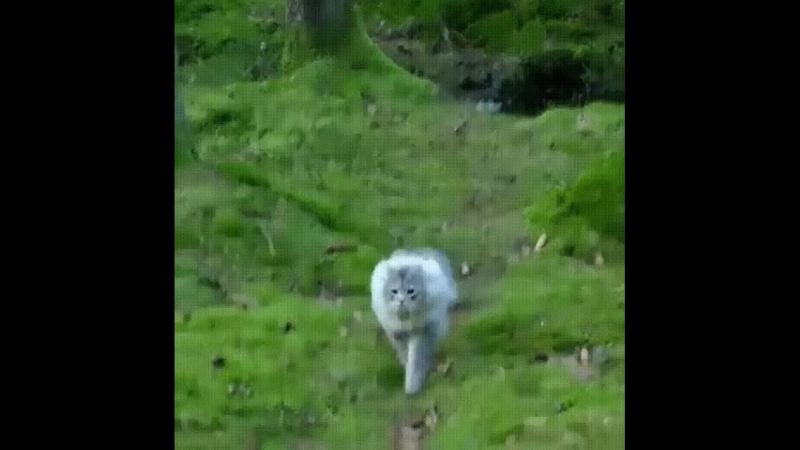 Норвежский лесной кот Красавец