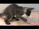 Котик Джамаль, порода Мейн-кун, окрас чёрный дымчатый, имеет документы о происхождении, полностью привит. Продаётся. Питомник.