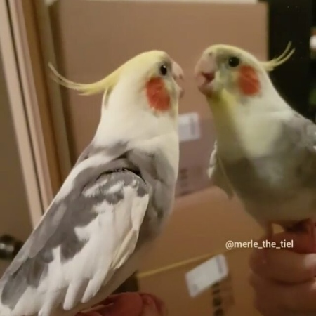"Birb/BORB/BLORB on Instagram: ""Rate this good boi song. I give it 10/10 🔹 credit @merle_the_tiel 🔹 🔹 🔹 🔹 🔹 🔹 bird birb birbmemes birdmemes bir..."