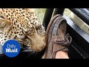 Moment tourist experiences close encounter with young leopard - Daily Mail