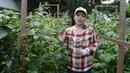 Малина черная Кумберленд урожай посадка и уход