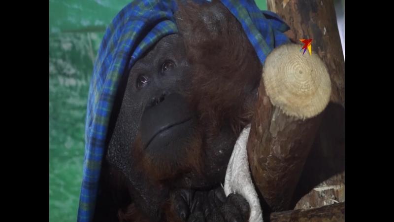 В Екатеринбургском зоопарке поселился орангутан Захар