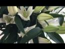 Букет из 17-ти лилий – 4 165 руб. Цветочная симфония.mp4