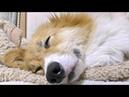 Roku sleeping / お寝んねロクさん 20180726 dog コーギー 犬