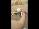 купание белого кота