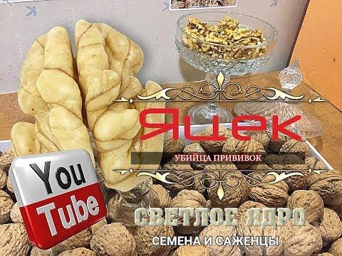 Грецкий орех Яцек. Семена и саженцы, 0985674877, 0957351986, Walnuts Broker