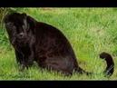 Животные мира Чёрный леопард Редкий вид пантеры Самые опасные семейства кошачьих Лучшие охотники