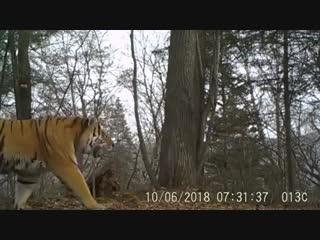 Редкие кадры сибирского тигра с северо-востока Китая!