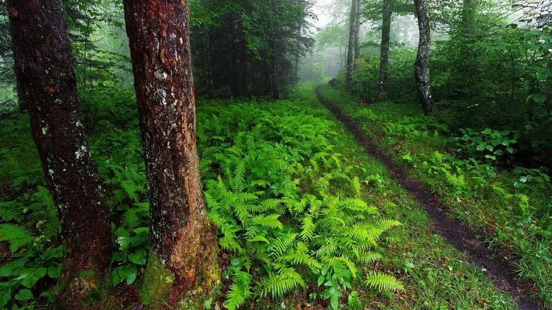 Гуща леса Насыщенные звуки природы из глубины лесной Пение птиц Живой лес