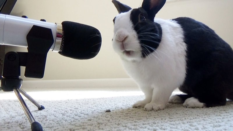 Rabbit eating crunchy pellets ASMR Mukbang