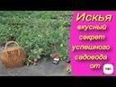 ИСКЬЯ - вкусный секрет успешного садовода