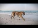 Тигры на пляже в Дубае