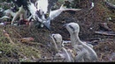 Live Fish Fed To Osprey Chicks On Wet Day In Savannah GA April 23 2018