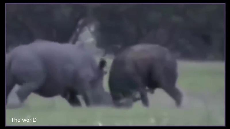 MATAR OU MORRER | Búfalo vs Rinoceronte [ATÉ A MORTE]