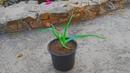 How to grow Aloe Vera/DIY