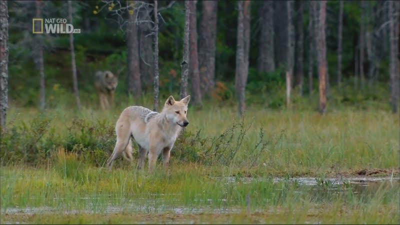 Дикие животные севера Зов природы