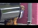 Homeless German Shepherd cries like a human I have never heard anything like this
