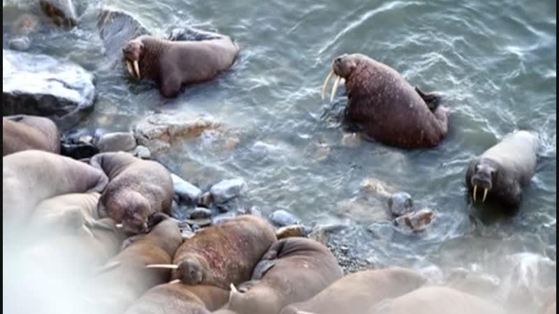 Из-за таяния льдов тихоокеанские моржи сели на диету