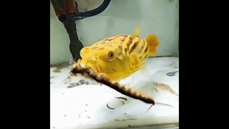 Nothing escapes this pufferfish