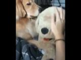 Ревность Собаки ...