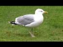 Irish Sea Gulls