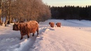 Scottish Highland Cattle In Finland: Sunrise cows and calves 5th of March 2018
